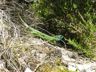 Lézard Vert au col Bleu (Fontainebleau - Massif du Bois Rond)